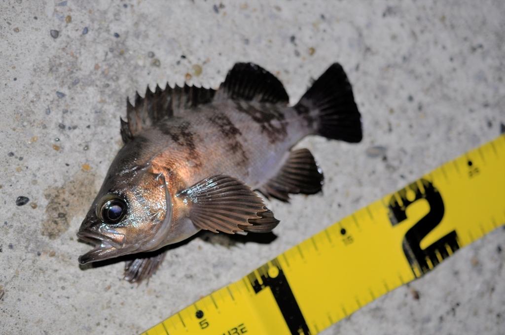 【まだ捨てるときじゃないかも!】夜釣りのケミホタルの保存・再利用の方法